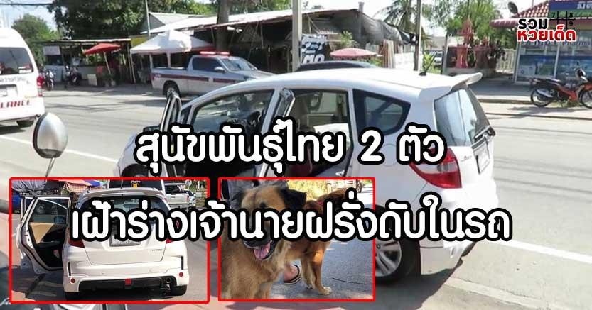 สุนัขพันธุ์ไทย-เฝ้าร่างฝรั่ง